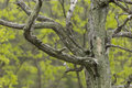 Barren tree in spring a with green trees the background Royalty Free Stock Photos
