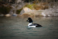 Barrow s goldeneye bucephala islandica in a mountain pond alberta canada Royalty Free Stock Images