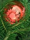 Barrtr�ds- p�lstree Royaltyfria Foton