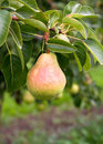 Bartlett Pear Ready for Picking Stock Photography