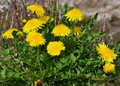 Basel lange erle dandelion löwenzahn yellow spring flowers Royalty Free Stock Image