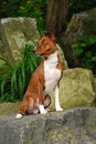 The Basenji Royalty Free Stock Photos