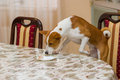 Basenji dog controls amount of leftovers on a dinner table always hungry Royalty Free Stock Photography