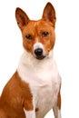 Basenji dog isolated on white red background Stock Photos
