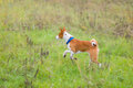 Basenji dog in motion Royalty Free Stock Photo
