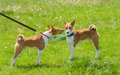 Basenji dogs meeting after separation Stock Photos