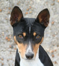 Basenji Head Stock Images