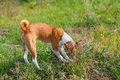 Basenji hunting for rodent in burrow Royalty Free Stock Photos
