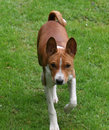 Basenji puppy Royalty Free Stock Images