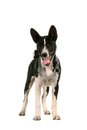 Basenji puppy on white months the background Stock Images
