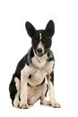 Basenji puppy on white months the background Stock Photos