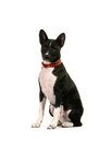 Basenji puppy on white months the background Stock Photography