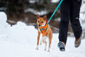 Basenjis dog in winter Stock Photography