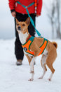Basenjis dog in winter Royalty Free Stock Images