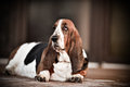 Baset hound this dog is a laid back family friend who loves kids Stock Photo