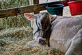 Bashful a cow laying in the hay Royalty Free Stock Photos