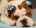 Bashful girl bulldog Stock Photos