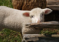 Bashful Sheep Stock Photography