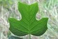 Basic Tree Biology: Leaf Veins Royalty Free Stock Photo