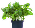 Basil Royalty Free Stock Photography