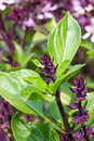 Basil and blossom fresh in the plantation Royalty Free Stock Images