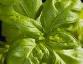 Basil a closeup of green leaves sweet Royalty Free Stock Photography