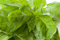 Basil fresh leaves in detail background Stock Images