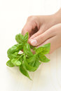 Basil, hands of young woman holding fresh herbs Royalty Free Stock Photo