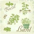 Basil, herb,