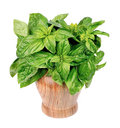 Basil herbs Stock Photos
