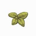 Basil leafes retro design isolated on white background vector illustration Royalty Free Stock Photo