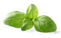 Basil leaves in closeup Royalty Free Stock Photo