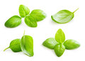 Basil leaves spice closeup. Royalty Free Stock Photo