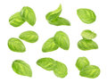 Basil leaves spice closeup isolated on white background. Royalty Free Stock Photo