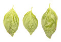 Basil leaves three different fresh isolated on white Stock Photo