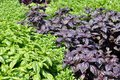 Basil many kinds of green purple Stock Images
