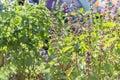 Basil ocimum basilicum linn in the garden Stock Photos