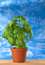 Basil Plant Royalty Free Stock Photography