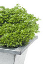 Basil plant Stock Photography