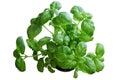 Basil plant Royalty Free Stock Photo