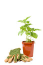 Basil plant with gloves Stock Image