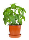 Basil plant in pot Royalty Free Stock Photo