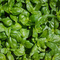 Basil plant spice scented ideal for flavoring pasta dishes Royalty Free Stock Photography