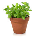 Basil plant in terracotta pot on white background Royalty Free Stock Image