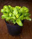 Basil plant in vase Stock Photography