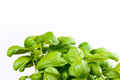Basil plant on white background Stock Photos