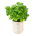 Basil plant in white flower pot isolated on white Stock Image