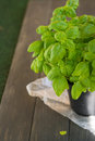Basil plant young in the black pot Royalty Free Stock Photos