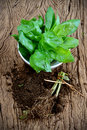 Basil plants freshness plant on old wood table Stock Photo