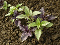 Basil plants growing on a vegetable bed Stock Photos